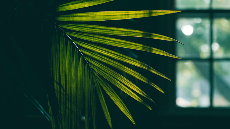 Areca Palm Must Have Air-Purifying Indoor Plants