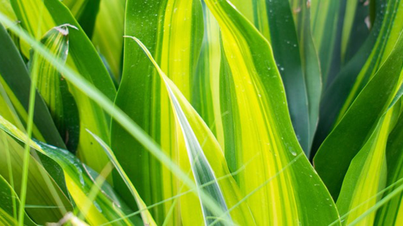 dracaena a Must Have Air-Purifying Indoor Plants