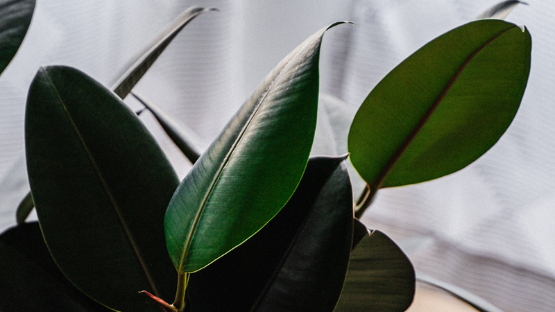 Rubber Plant is highly effective in removing this chemical.