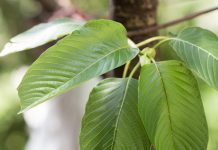 Basic Kratom Information