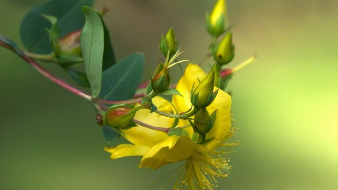 Effectiveness-Of-Hypericum-Mysorense