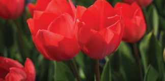 Best Red Flowers You Can Bring Home Now!