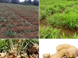 Commercial Ginger Farming In India - How to Grow Ginger